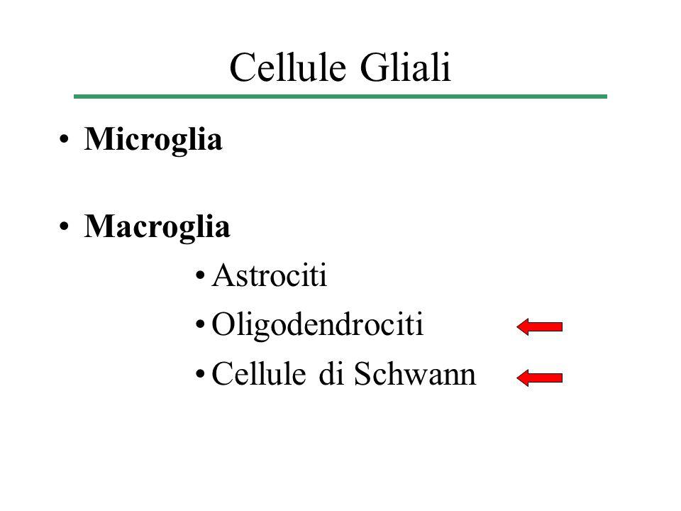Cellule Gliali Microglia Macroglia Astrociti Oligodendrociti Cellule di Schwann