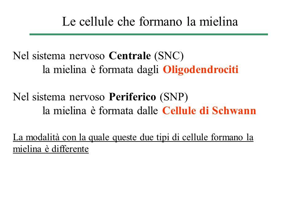 Le cellule che formano la mielina Nel sistema nervoso Centrale (SNC) la mielina è formata dagli Oligodendrociti Nel sistema nervoso Periferico (SNP) l