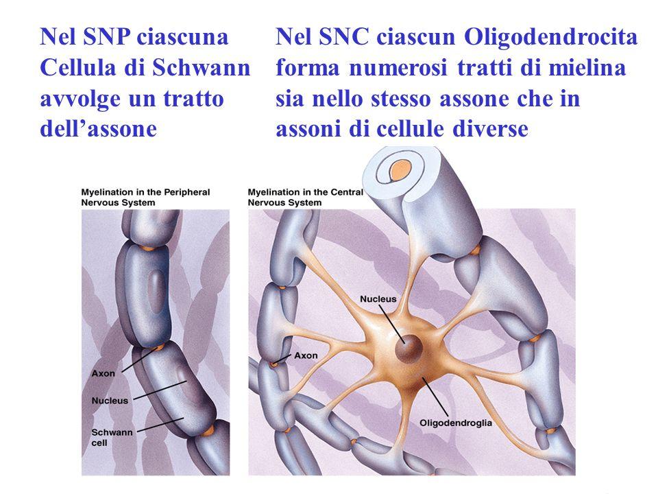 Nel SNP ciascuna Cellula di Schwann avvolge un tratto dellassone Nel SNC ciascun Oligodendrocita forma numerosi tratti di mielina sia nello stesso ass