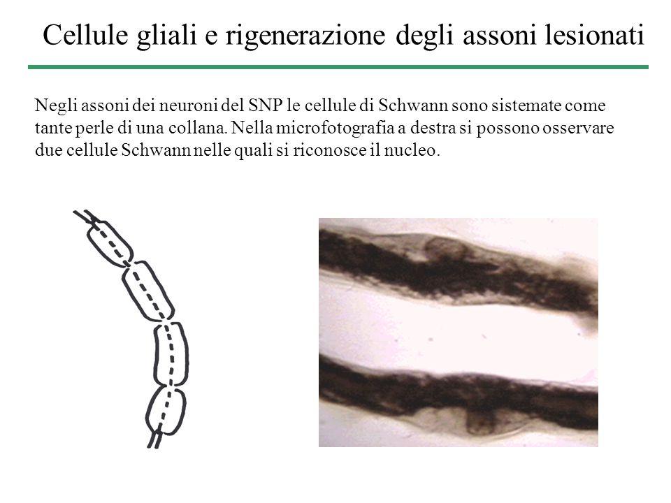 Cellule gliali e rigenerazione degli assoni lesionati Negli assoni dei neuroni del SNP le cellule di Schwann sono sistemate come tante perle di una co