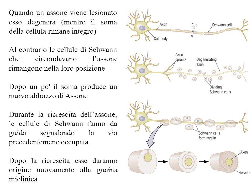 Quando un assone viene lesionato esso degenera (mentre il soma della cellula rimane integro) Al contrario le cellule di Schwann che circondavano lasso