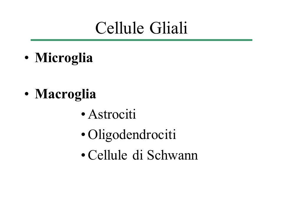 Mentre le macroglia hanno la stessa origine embriologica dei neuroni, le microglia derivano dal mesoderma (in particolare dai macrofagi) La principale funzione delle microglia è quella di riparare i tessuti danneggiati fagocitando quel che rimane delle cellule morte Le microglia