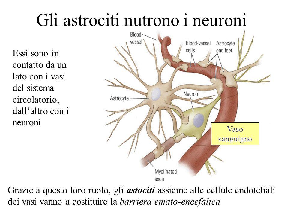 Gli astrociti nutrono i neuroni Essi sono in contatto da un lato con i vasi del sistema circolatorio, dallaltro con i neuroni Grazie a questo loro ruo