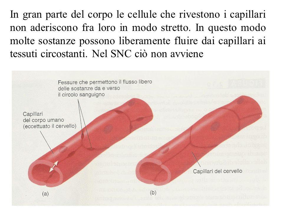 La barriera emato-encefalica Grazie alla barriera emato-encefalica (e al lavoro degli astrociti) viene controllato il passaggio di tutte le molecole (dagli ioni alle macromolecole) allinterno del SNC le sue funzioni principali sono: –Evitare che virus e batteri penetrino nel SNC –Mantenere costante la concentrazione di ioni nel liquido extracellulare dei tessuti del SNC (infatti le variazioni nella concentrazione ionica che si osservano nel sangue non sarebbero compatibili con il funzionamento dei neuroni) –Evitare il contatto dei neuroni con molte sostanze presenti nel sistema circolatorio che hanno un forte effetto sui neuroni (ad esempio lamminoacido Acido Glutammico presente nel sangue anche ad altre concentrazioni, nel sistema nervoso viene utilizzato come neurotrasmettitore ed è pertanto in grado di eccitare molti neuroni)