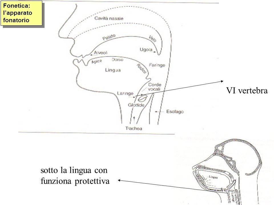 VI vertebra sotto la lingua con funziona protettiva Fonetica: lapparato fonatorio