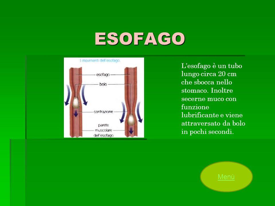 ESOFAGO Lesofago è un tubo lungo circa 20 cm che sbocca nello stomaco. Inoltre secerne muco con funzione lubrificante e viene attraversato da bolo in