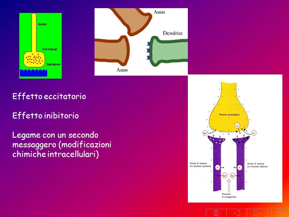 NEUROTRASMETTITORI Sono messaggeri chimici con effetti eccitatori o inibitori a livello sinaptico Hanno una distribuzione ben precisa nel cervello con vie e centri ben distinti Da un punto di vista chimico possono essere: una monoamina (derivati da un aminoacido): nor-adrenalina, adrenalina,nor-adrenalina dopaminadopamina, serotoninaserotonina un aminoacido: GABA, glutammatoGABAglutammato un estere della colina: AcetilcolinaAcetilcolina un acido grasso: endocannabinoide (anandamide, 2-AG)endocannabinoide NEUROMODULATORI neuropeptide (polipeptide) encefaline, endorfine, sostanza P Percezione del dolore, umore, comportamento, funzioni endocrine