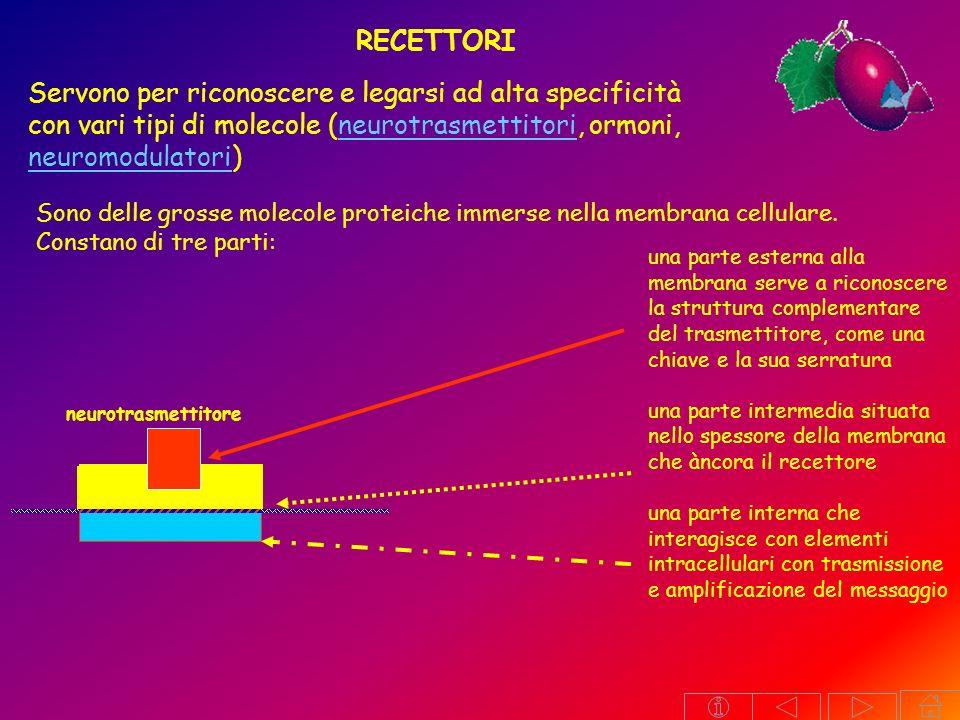modalità di azione di un recettore: dotato di attività enzimatica, si attiva solamente quando si lega al suo effettore enzima neurotrasmettitore recettore (Adenilciclasi) ATP AMPc è associato ad una proteina canale è in contatto con un sistema di amplificazione (proteina G, secondi messaggeri) lega il proprio effettore e lo trasporta dentro la cellula dove attiva altri processi endocellulari