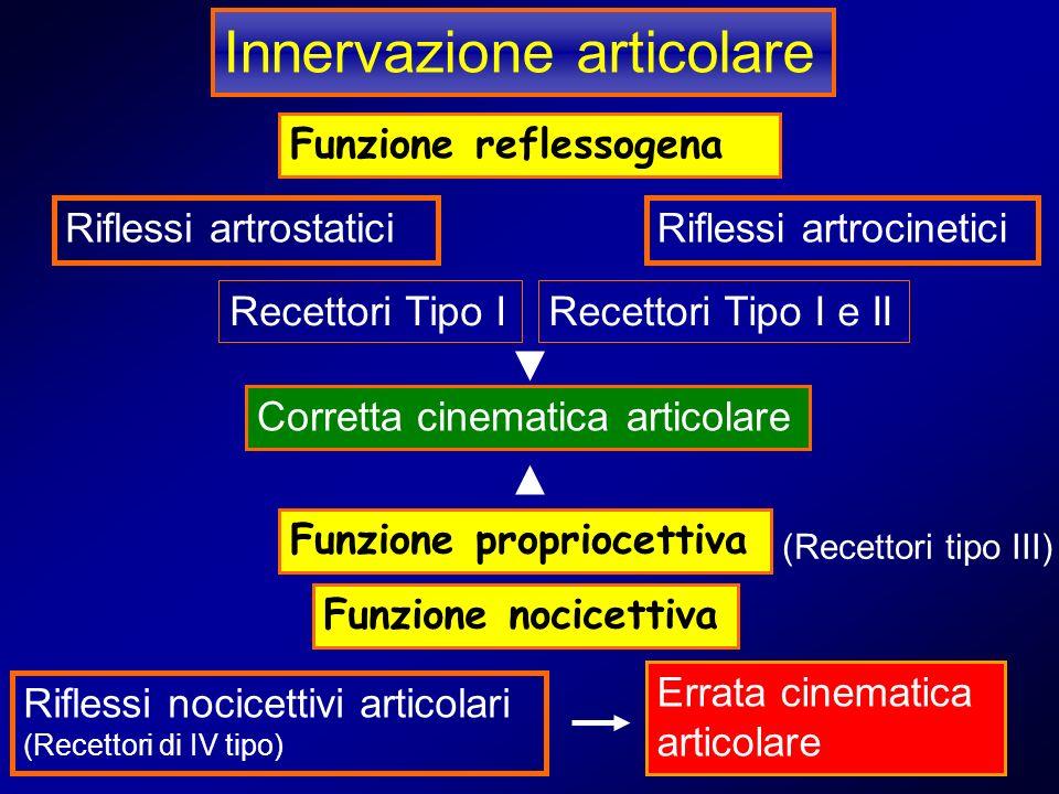 Innervazione articolare Funzione reflessogena Riflessi artrostaticiRiflessi artrocinetici Recettori Tipo IRecettori Tipo I e II Funzione propriocettiv