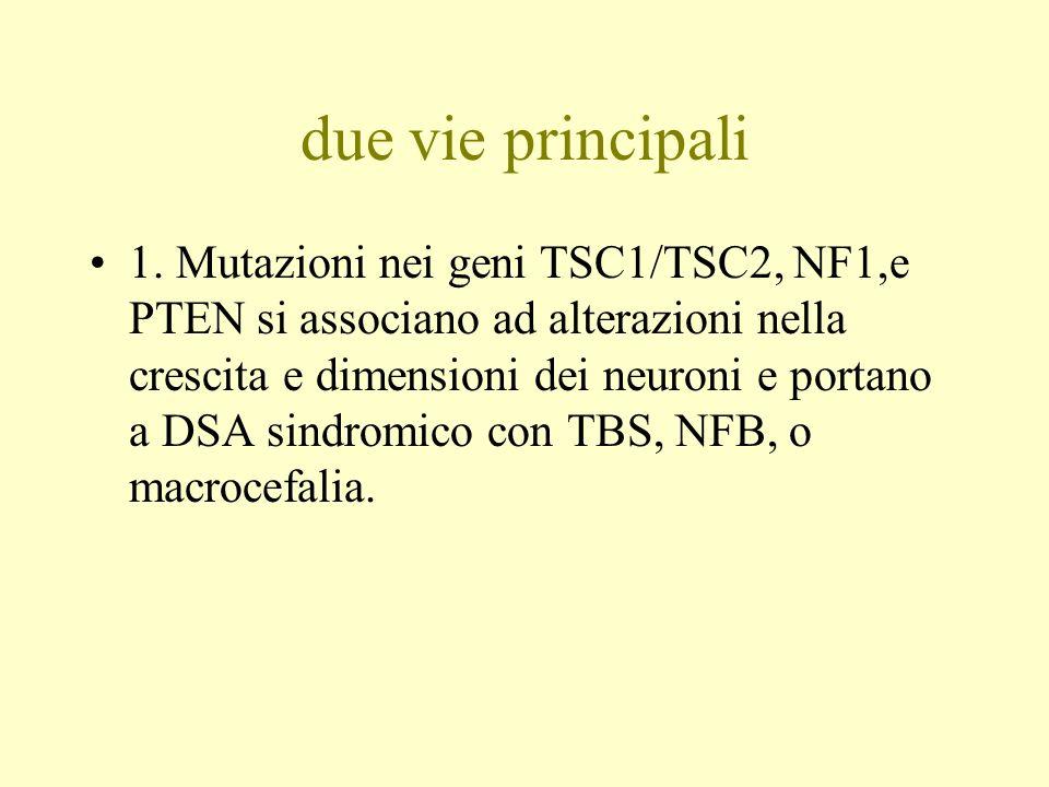 due vie principali 1. Mutazioni nei geni TSC1/TSC2, NF1,e PTEN si associano ad alterazioni nella crescita e dimensioni dei neuroni e portano a DSA sin