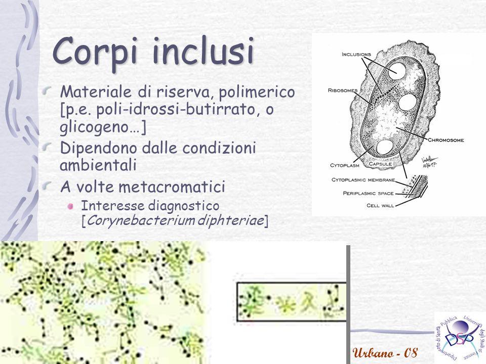 P.Urbano - 08 Corynebacteria Corynebacteria are Gram-positive, aerobic, nonmotile bacilli.