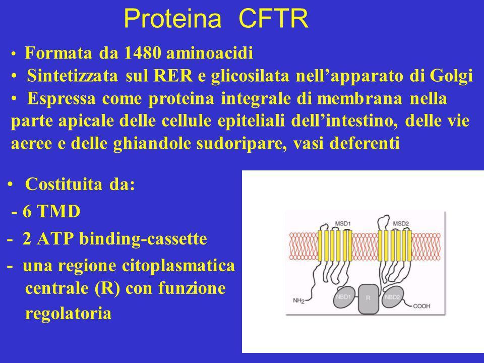 Proteina CFTR Costituita da: - 6 TMD - 2 ATP binding-cassette - una regione citoplasmatica centrale (R) con funzione regolatoria Formata da 1480 amino