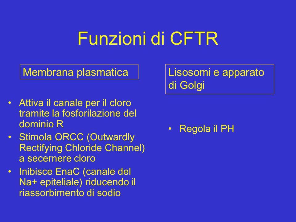 Funzioni di CFTR Attiva il canale per il cloro tramite la fosforilazione del dominio R Stimola ORCC (Outwardly Rectifying Chloride Channel) a secerner
