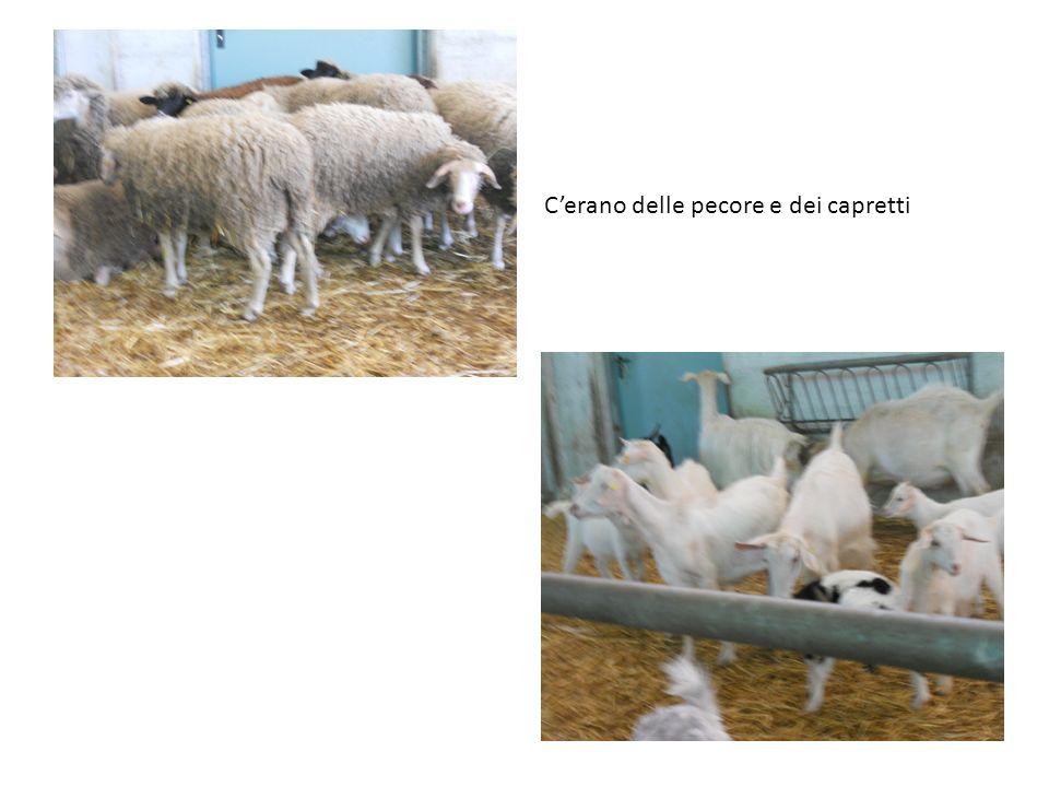 Cerano delle pecore e dei capretti