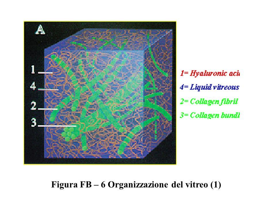 Figura FB – 7 Organizzazione del vitreo (2)