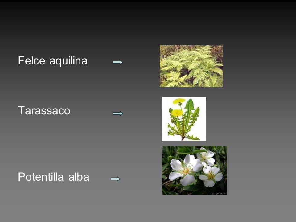 Felce aquilina Tarassaco Potentilla alba