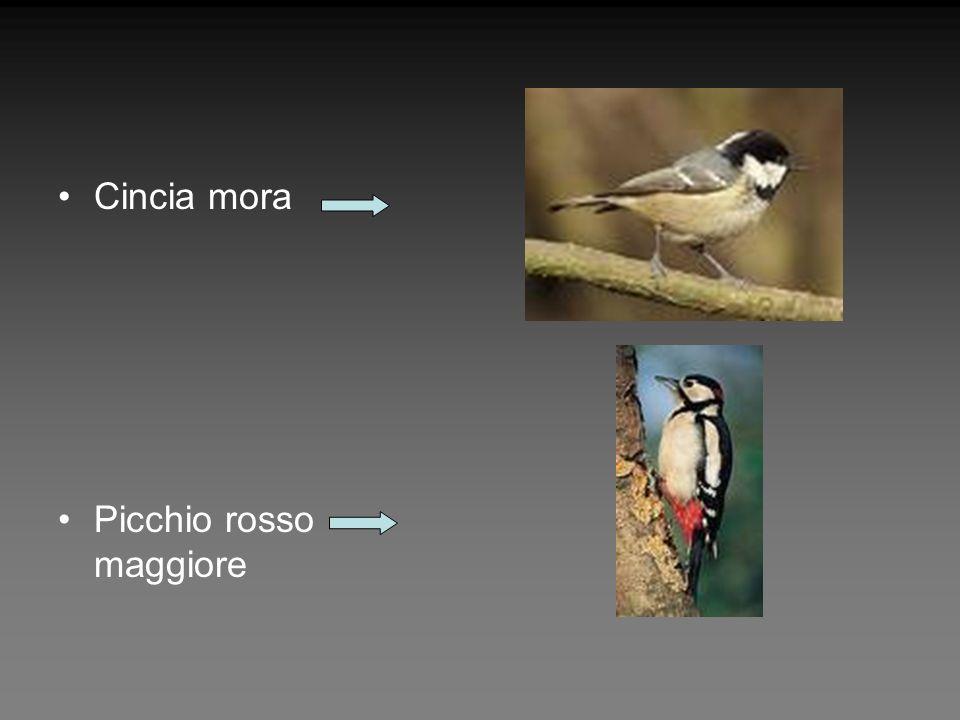 Cincia mora Picchio rosso maggiore