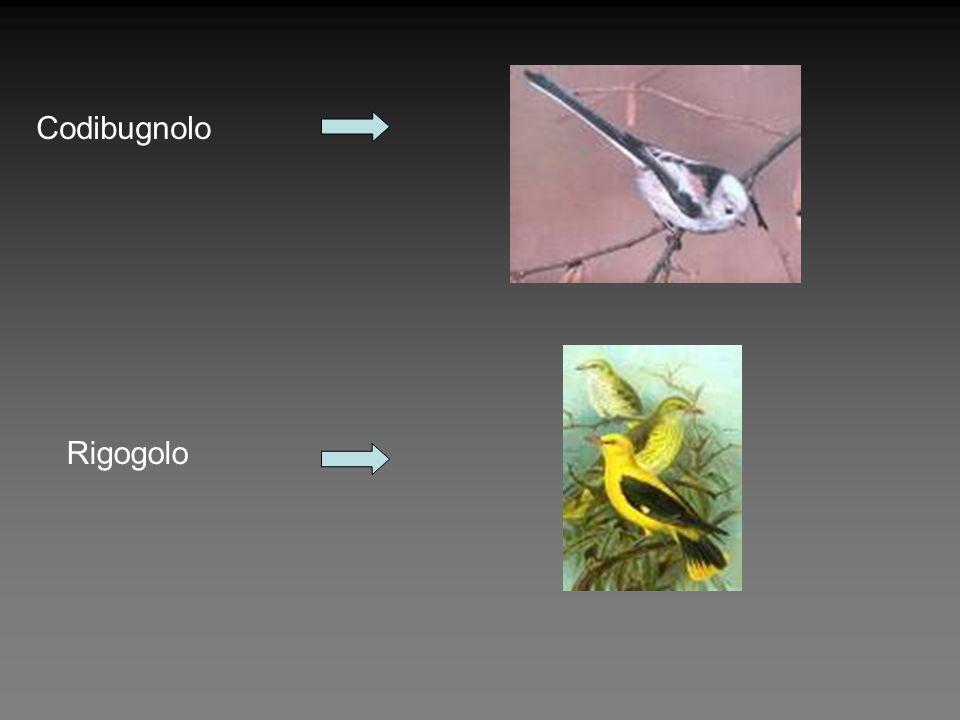 Codibugnolo Rigogolo