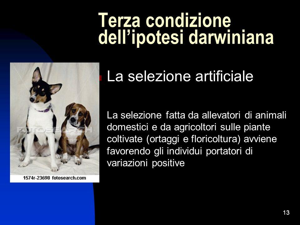 13 Terza condizione dellipotesi darwiniana La selezione artificiale La selezione fatta da allevatori di animali domestici e da agricoltori sulle piant