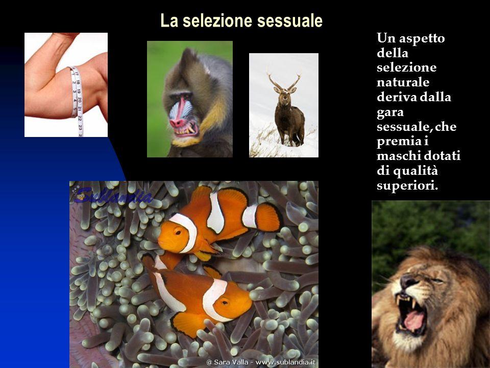 19 Un aspetto della selezione naturale deriva dalla gara sessuale, che premia i maschi dotati di qualità superiori. La selezione sessuale