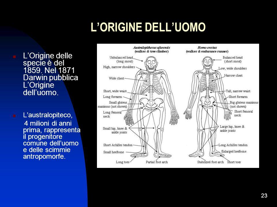 23 LORIGINE DELLUOMO LOrigine delle specie è del 1859. Nel 1871 Darwin pubblica LOrigine delluomo. Laustralopiteco, 4 milioni di anni prima, rappresen