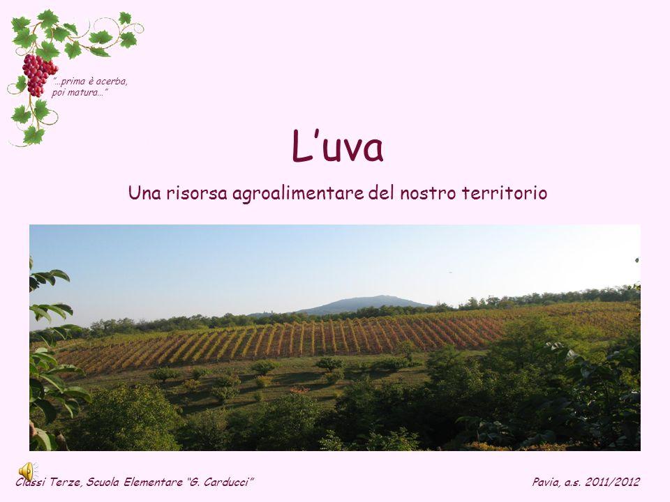 Luva Una risorsa agroalimentare del nostro territorio Classi Terze, Scuola Elementare G. CarducciPavia, a.s. 2011/2012 …prima è acerba, poi matura…