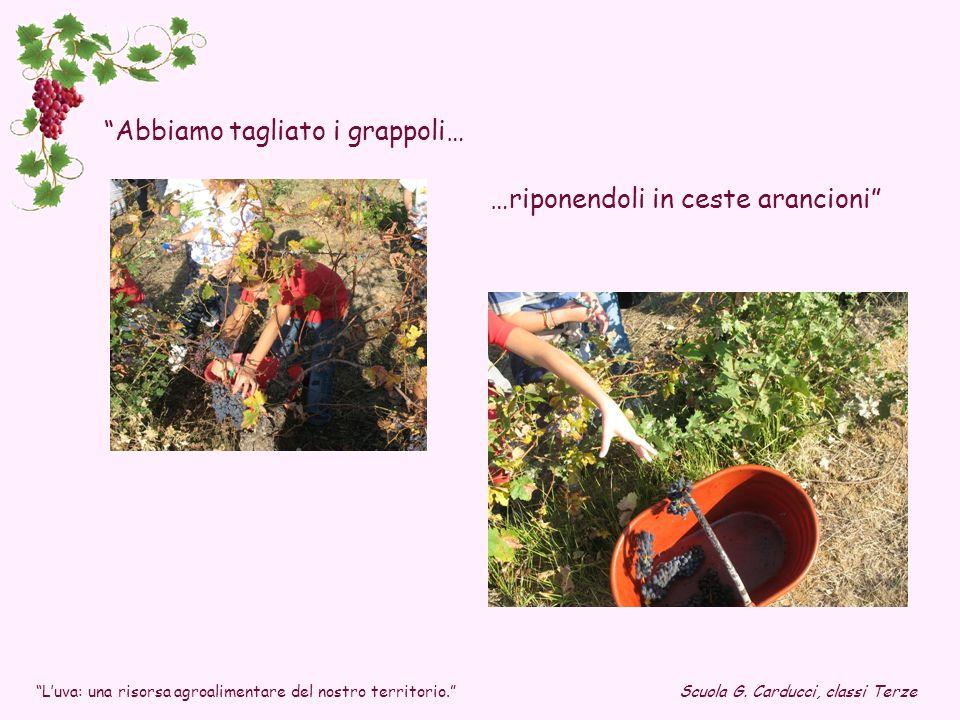 Abbiamo tagliato i grappoli… …riponendoli in ceste arancioni Scuola G. Carducci, classi TerzeLuva: una risorsa agroalimentare del nostro territorio.