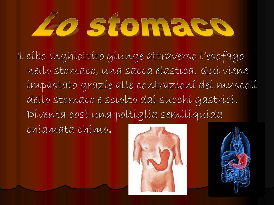Il cibo inghiottito giunge attraverso lesofago nello stomaco, una sacca elastica. Qui viene impastato grazie alle contrazioni dei muscoli dello stomac