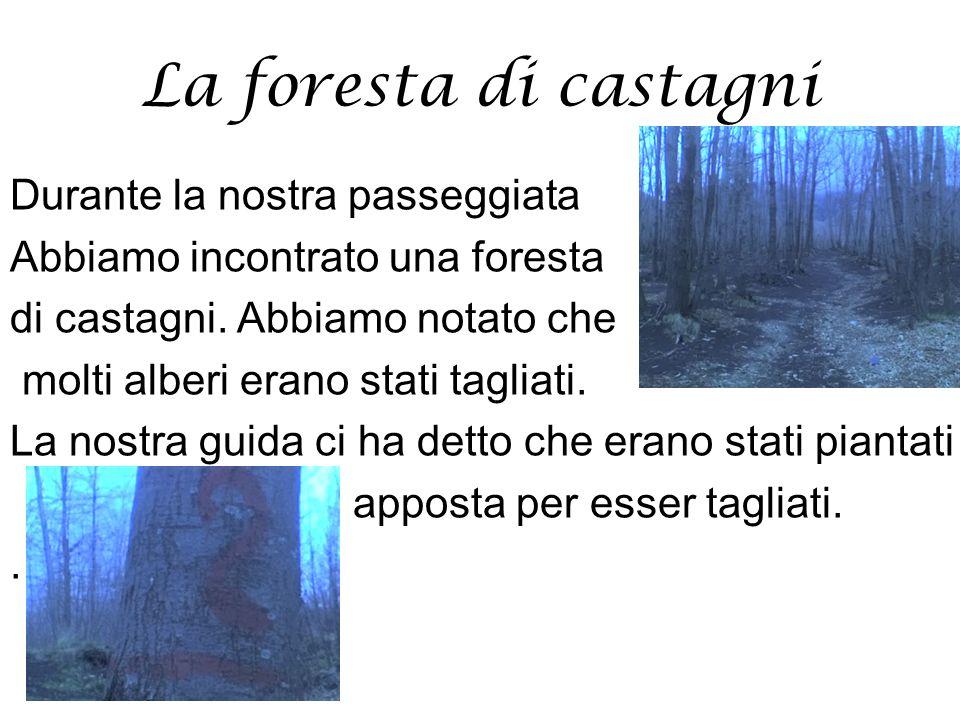 La foresta di castagni Durante la nostra passeggiata Abbiamo incontrato una foresta di castagni. Abbiamo notato che molti alberi erano stati tagliati.