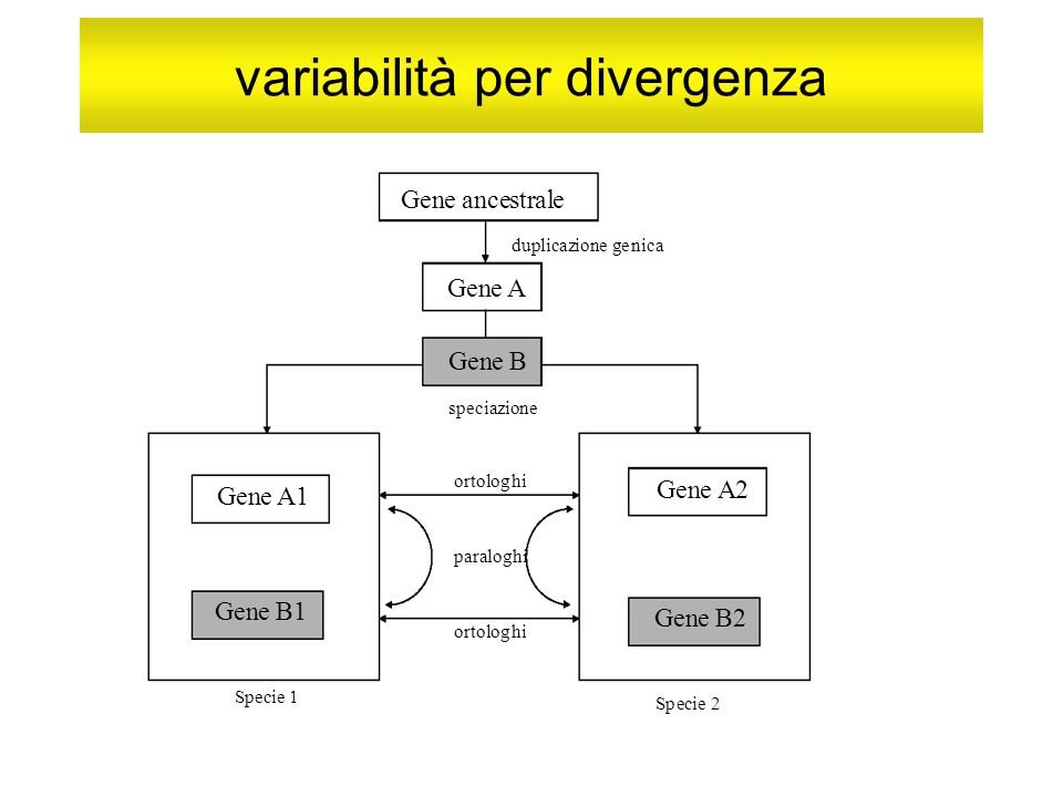 variabilità per divergenza Gene ancestrale duplicazione genica Gene A e B speciazione ortologhi paralog Gene A1 e A2 e B1 Specie 1 ortologhi Gene B2 Specie 2