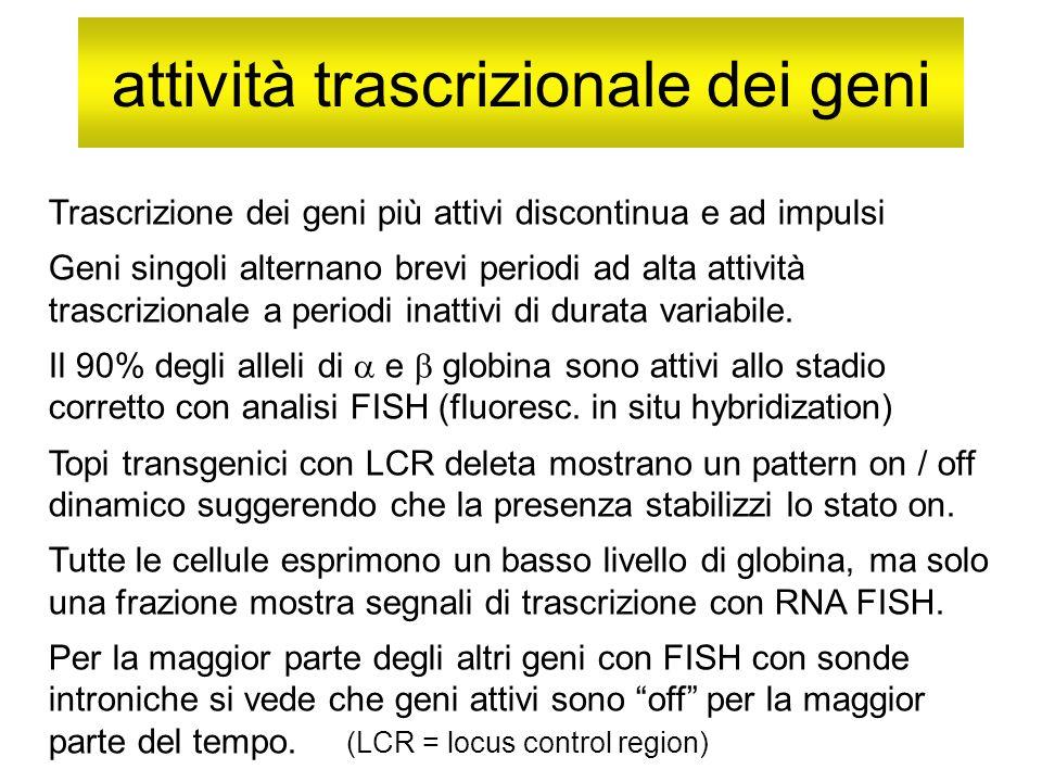 attività trascrizionale dei geni Trascrizione dei geni più attivi discontinua e ad impulsi Geni singoli alternano brevi periodi ad alta attività trasc