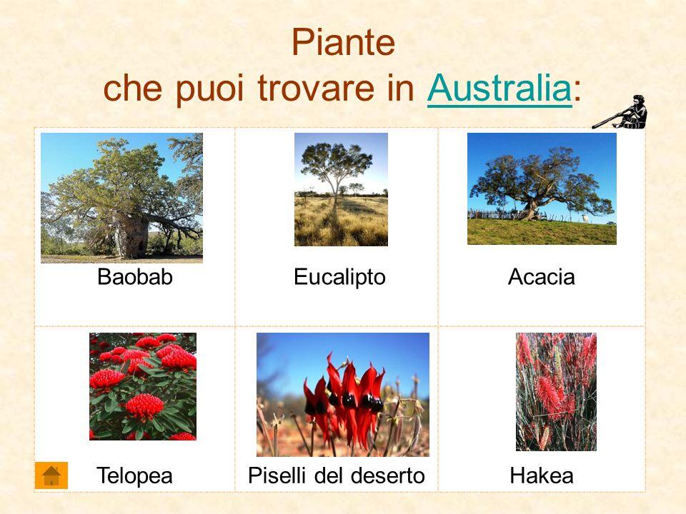 Piante che puoi trovare in Australia:Australia Baobab EucaliptoAcacia TelopeaPiselli del desertoHakea