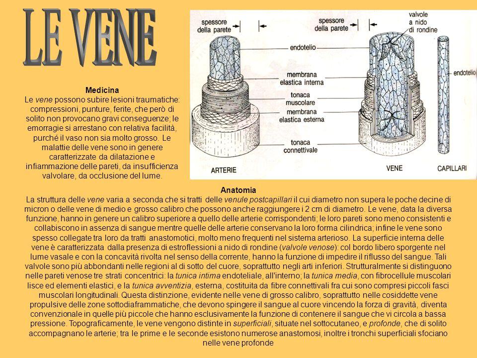 Anatomia La struttura delle vene varia a seconda che si tratti delle venule postcapillari il cui diametro non supera le poche decine di micron o delle vene di medio e grosso calibro che possono anche raggiungere i 2 cm di diametro.