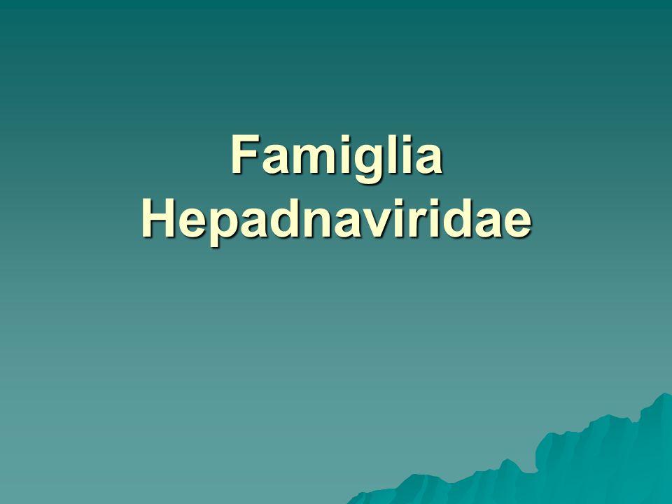 HBV È il virus dellepatite B o epatis virus. Lunico Hepadnavirus di interesse medico.