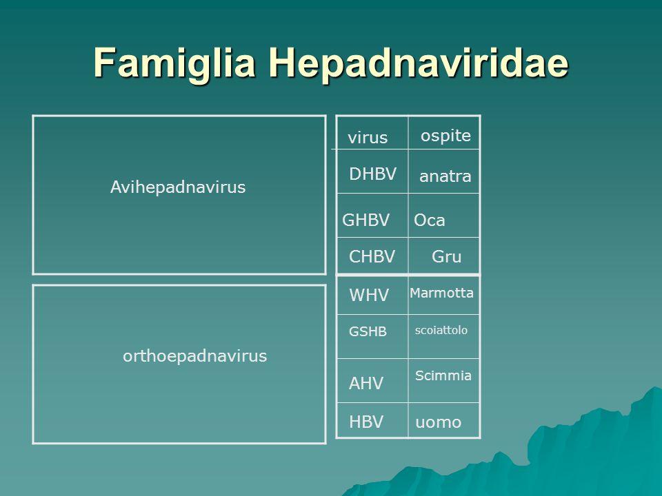 Famiglia Hepadnaviridae Avihepadnavirus orthoepadnavirus virus ospite DHBV anatra GHBVOca CHBVGru WHV Marmotta GSHB scoiattolo AHV Scimmia HBVuomo