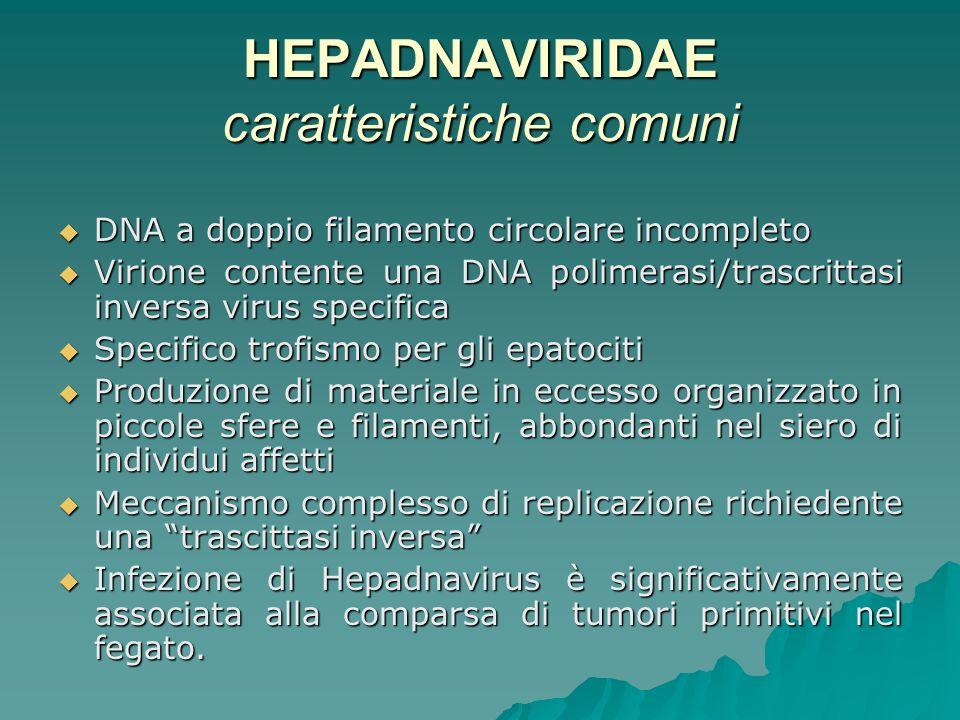 HEPADNAVIRIDAE caratteristiche comuni DNA a doppio filamento circolare incompleto DNA a doppio filamento circolare incompleto Virione contente una DNA