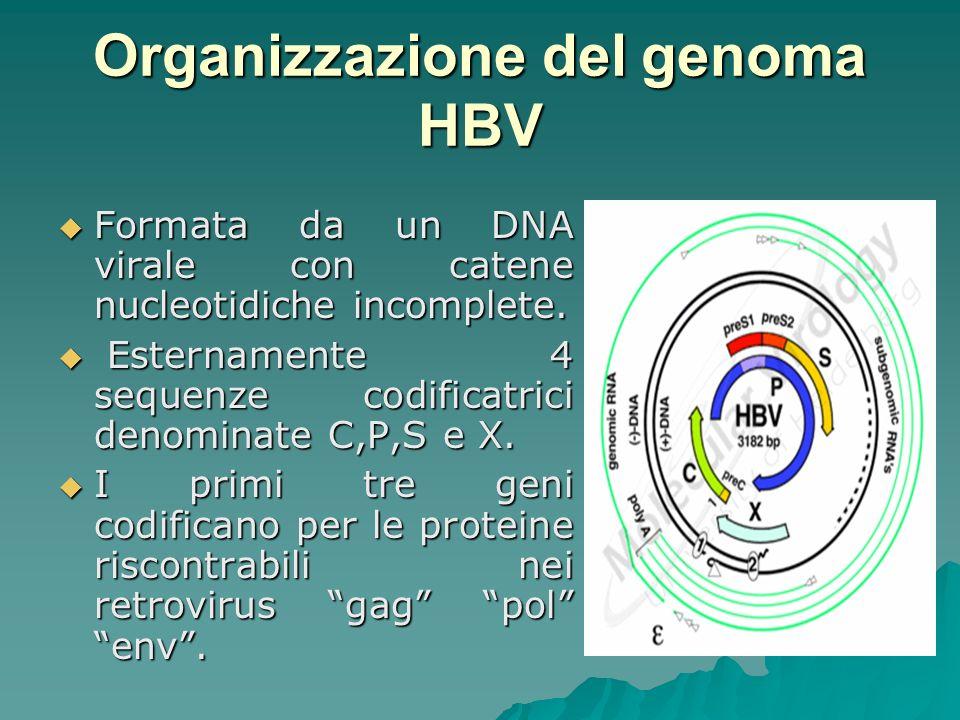 Gene P codifica proteine attivanti attività polimerasica Gene P codifica proteine attivanti attività polimerasica Gene C codifica proteine del capside (core) e dellantigene HBc Ag Gene C codifica proteine del capside (core) e dellantigene HBc Ag Gene S codificano per proteine di superficie (peplos) e dellantigene HBs Ag Gene S codificano per proteine di superficie (peplos) e dellantigene HBs Ag Gene X codifica una proteina trans- attivante sulla trascrizione del genoma virale Gene X codifica una proteina trans- attivante sulla trascrizione del genoma virale