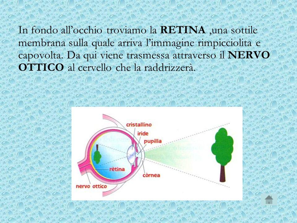 In fondo allocchio troviamo la RETINA,una sottile membrana sulla quale arriva limmagine rimpicciolita e capovolta. Da qui viene trasmessa attraverso i