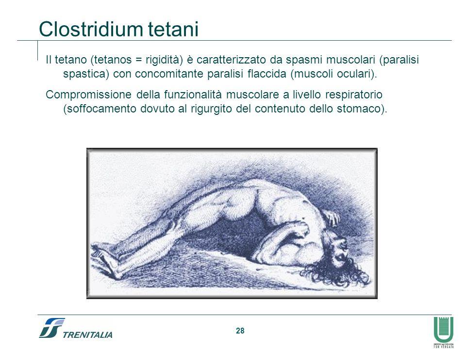 28 Clostridium tetani Il tetano (tetanos = rigidità) è caratterizzato da spasmi muscolari (paralisi spastica) con concomitante paralisi flaccida (musc