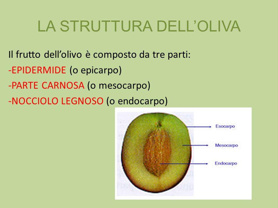 Il frutto dellolivo è composto da tre parti: -EPIDERMIDE (o epicarpo) -PARTE CARNOSA (o mesocarpo) -NOCCIOLO LEGNOSO (o endocarpo) LA STRUTTURA DELLOL