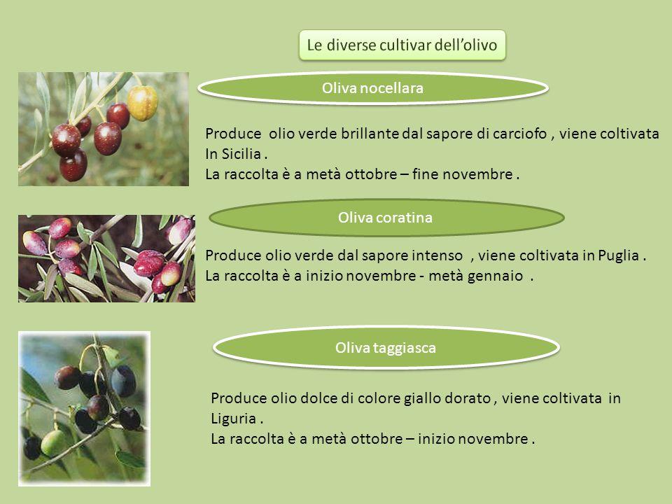 Oliva nocellara Produce olio verde brillante dal sapore di carciofo, viene coltivata In Sicilia. La raccolta è a metà ottobre – fine novembre. Oliva c