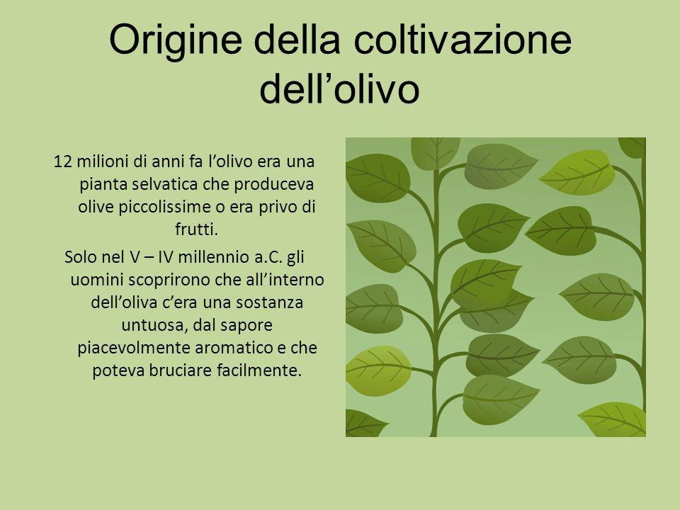 Origine della coltivazione dellolivo 12 milioni di anni fa lolivo era una pianta selvatica che produceva olive piccolissime o era privo di frutti. Sol