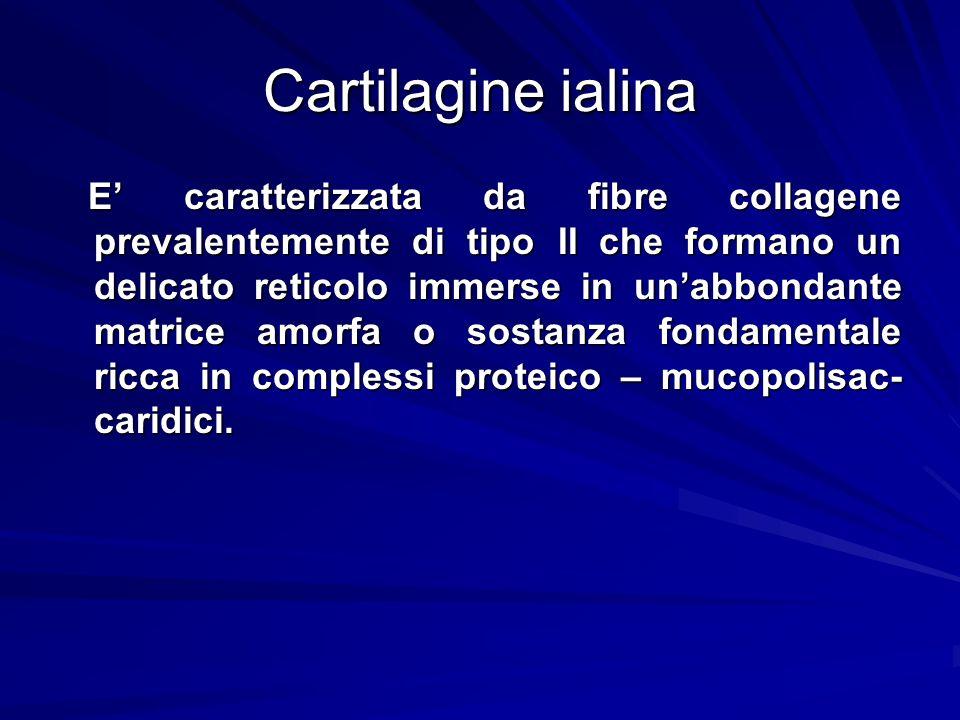 Cartilagine ialina E caratterizzata da fibre collagene prevalentemente di tipo II che formano un delicato reticolo immerse in unabbondante matrice amo