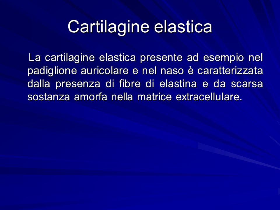 Cartilagine elastica La cartilagine elastica presente ad esempio nel padiglione auricolare e nel naso è caratterizzata dalla presenza di fibre di elas