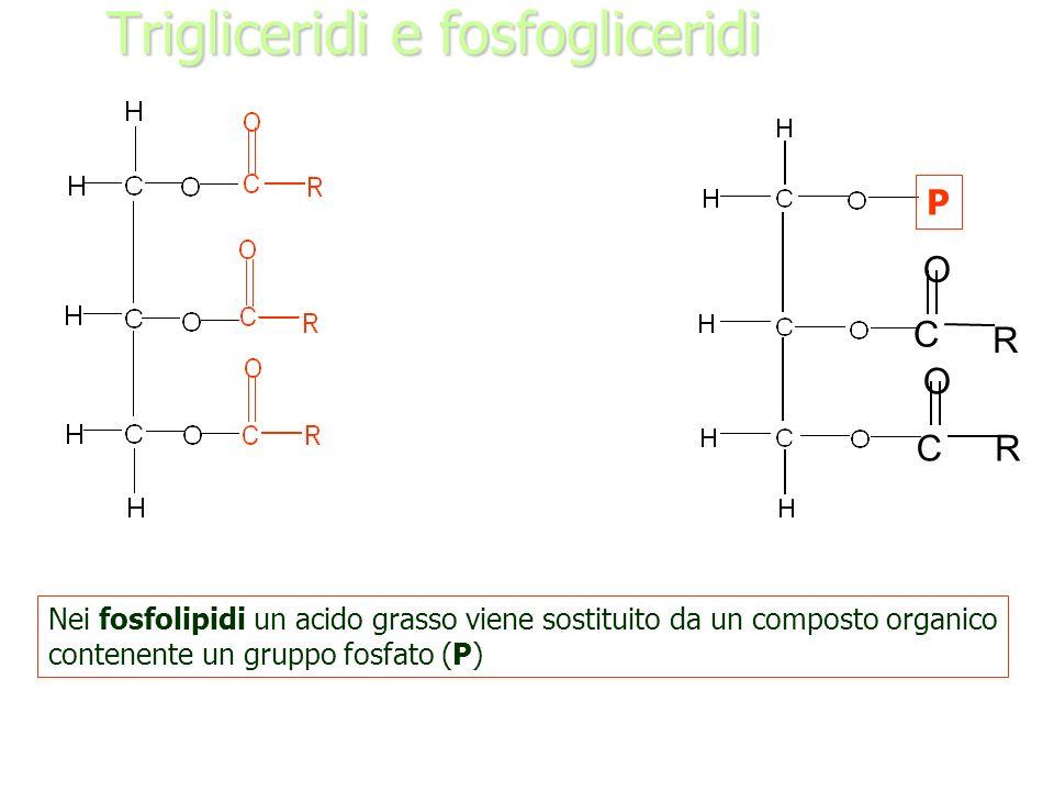 Trigliceridi e fosfogliceridi C O O R R C P Nei fosfolipidi un acido grasso viene sostituito da un composto organico contenente un gruppo fosfato (P)