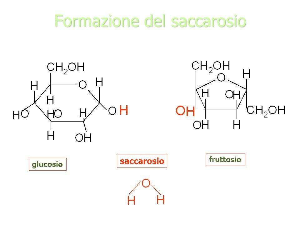 Formazione del saccarosio glucosio fruttosio saccarosio