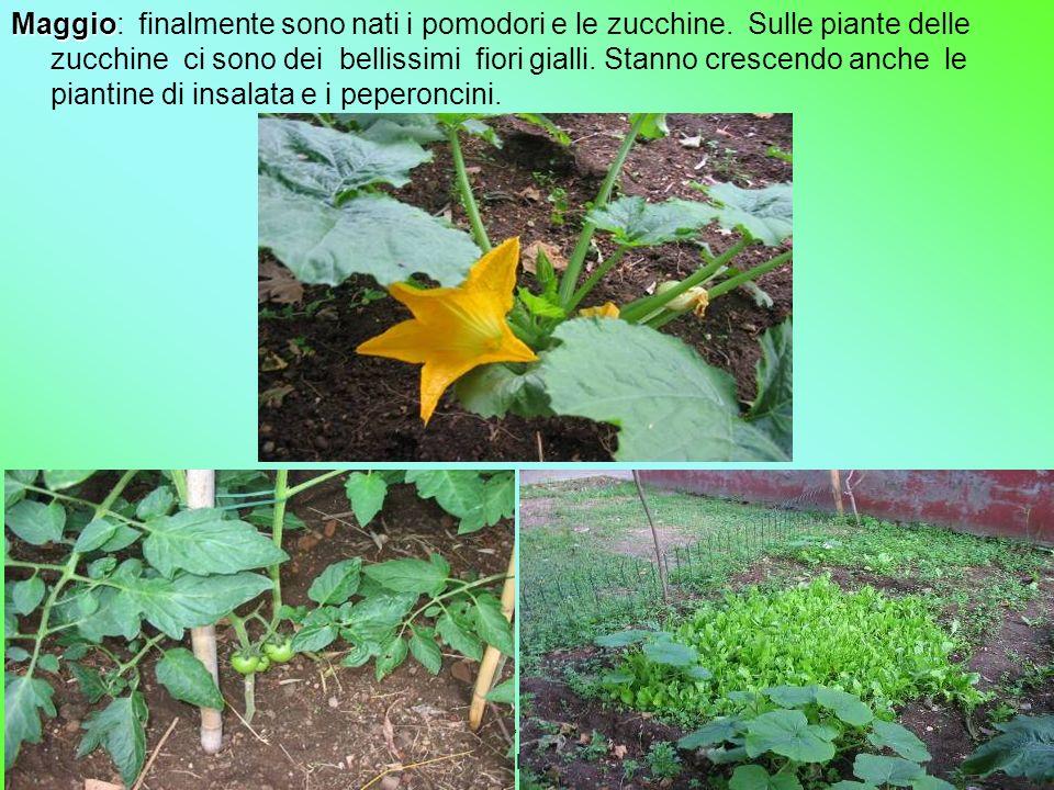 2° A-B Ida Del Vecchio Maggio Maggio: finalmente sono nati i pomodori e le zucchine. Sulle piante delle zucchine ci sono dei bellissimi fiori gialli.