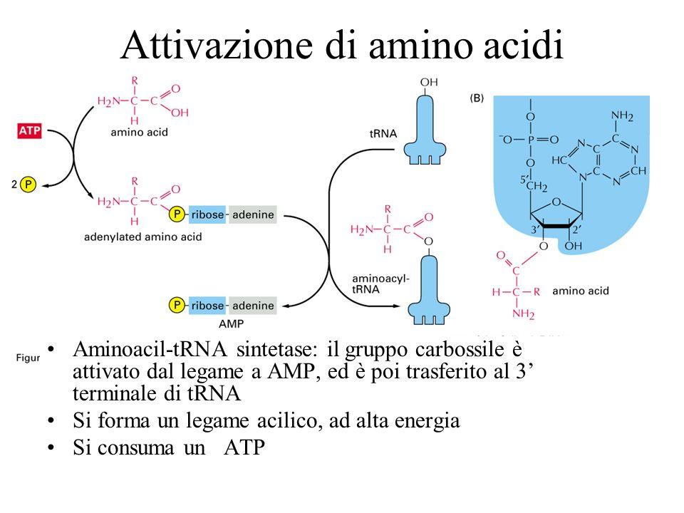 Attivazione di amino acidi Aminoacil-tRNA sintetase: il gruppo carbossile è attivato dal legame a AMP, ed è poi trasferito al 3 terminale di tRNA Si f