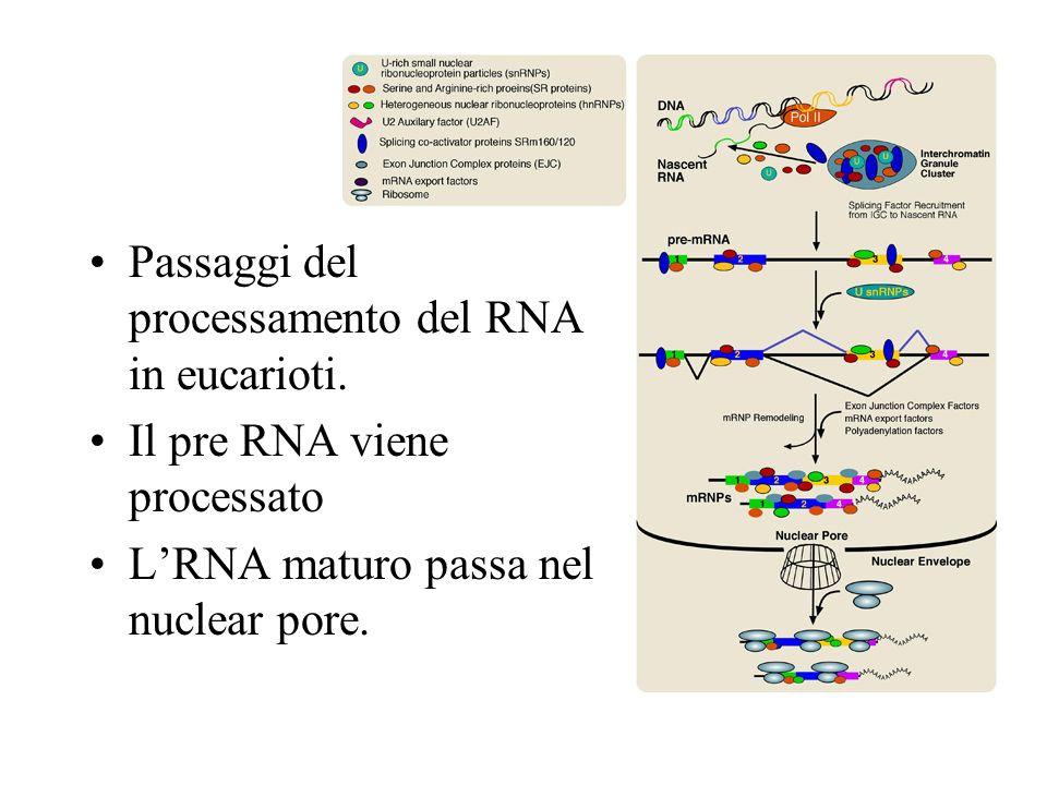 Passaggi del processamento del RNA in eucarioti. Il pre RNA viene processato LRNA maturo passa nel nuclear pore.