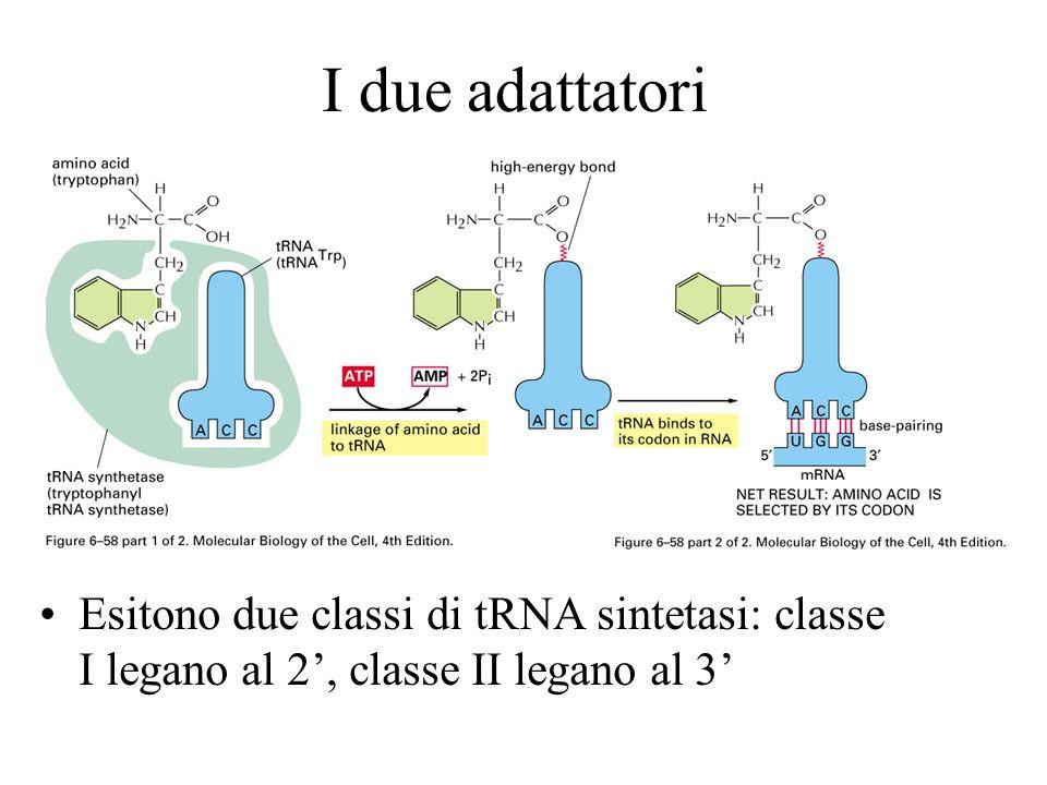 I due adattatori Esitono due classi di tRNA sintetasi: classe I legano al 2, classe II legano al 3